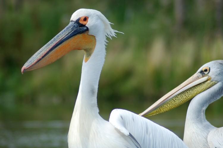 Pelikane in der Zoom-Erlebniswelt Gelsenkirchen