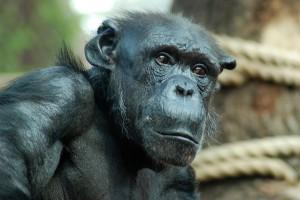 Menschenaffen: Schimpanse in der Zoom Erlebniswelt