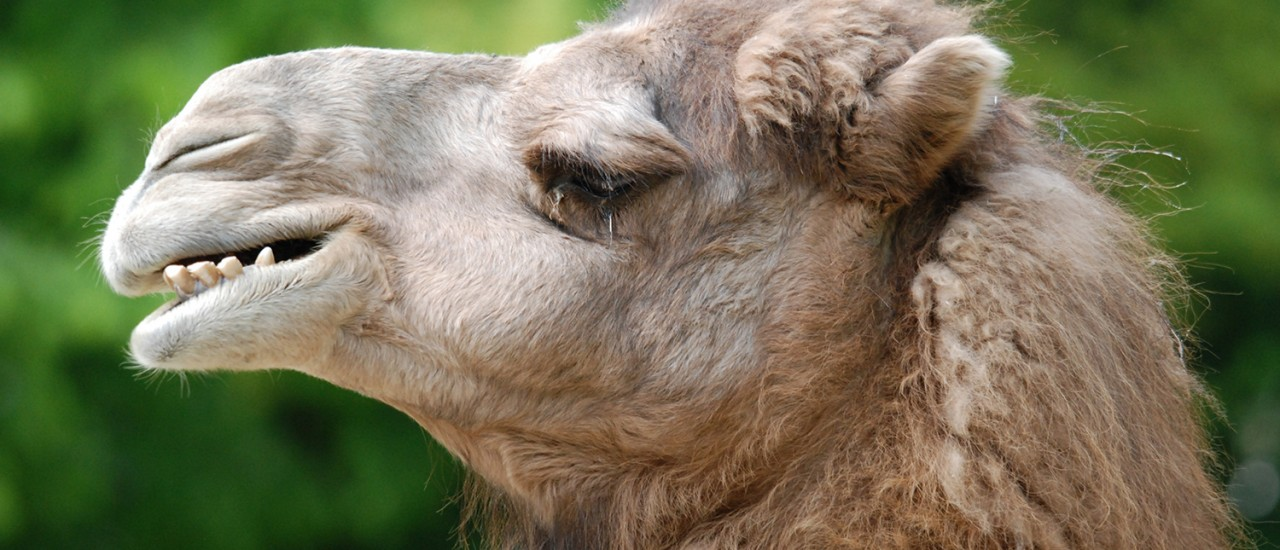 Ein Kamel im Wuppertaler Zoo – Schaut richtig cool aus!