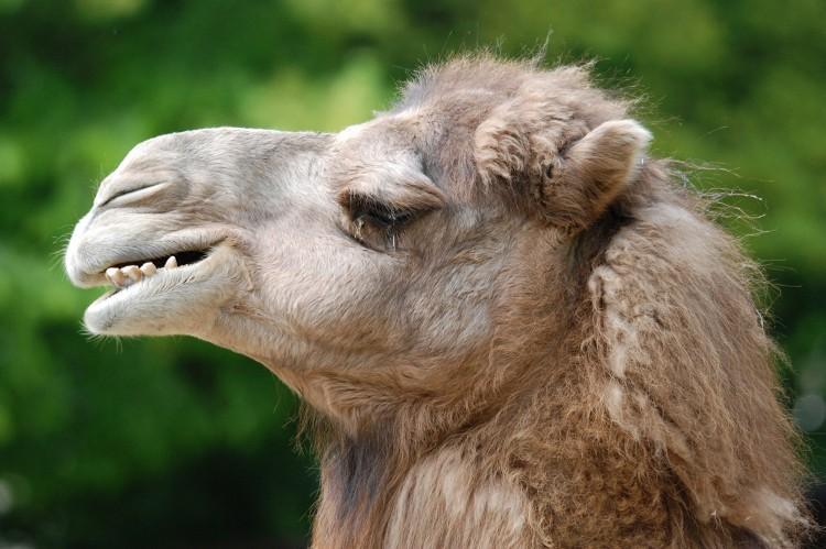 Ein cooles Kamel im Wuppertaler Zoo!